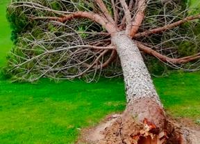 10 árboles caídos en Palomarejos tras el paso de la borrasca Elsa